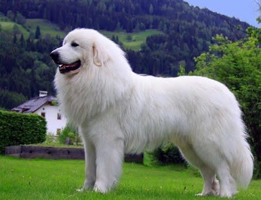 Пиренейская горная собака, крупная порода. Купание и сушка.