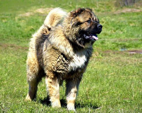 Кавказская овчарка, крупная порода. Гигиена, купание, сушка.