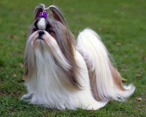 Ши-тцу (собака хризантема), маленькая порода. Купание и сушка.